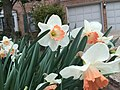 2017-04-03 15 37 40 Daffodils with salmon-colored centers and white petals along Kinross Circle near Scotsmore Way in the Chantilly Highlands section of Oak Hill, Fairfax County, Virginia.jpg