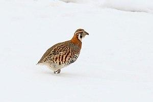 Tibetan partridge - Tibetan partridge (Ladakh, India).