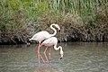 20170425 131 Camargue Flamingo (33654108203).jpg