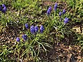 2018-04-18 17 02 03 Grape hyacinths blooming along Ladybank Lane (Virginia State Route 6470) in the Chantilly Highlands section of Oak Hill, Fairfax County, Virginia.jpg