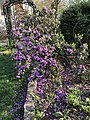 2018-04-18 17 21 57 Rhododendron blooming along Dairy Lou Drive (Virginia State Route 6843) in the Franklin Farm section of Oak Hill, Fairfax County, Virginia.jpg