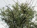 20180522Elaeagnus angustifolia1.jpg