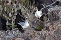 20180807-Swallow-tailed gull-5 at Genovesa (9475).jpg