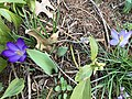 2019-03-15 14 40 00 Ruby Giant Crocuses and Tommasini's Crocuses blooming along Tranquility Court in the Franklin Farm section of Oak Hill, Fairfax County, Virginia.jpg