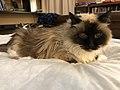 2019-11-04 09 52 22 A Ragdoll cat lying on a bed in the Franklin Farm section of Oak Hill, Fairfax County, Virginia.jpg