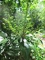 20190507Mahonia aquifolium2.jpg