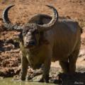 20190605 171747 0000 buffalo.png