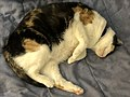 2020-04-27 20 55 18 A Calico cat sleeping on a bed in the Franklin Farm section of Oak Hill, Fairfax County, Virginia.jpg