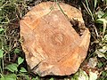 2021-06-26 14 22 49 The stump of a recently deceased Flowering Dogwood along Terrace Boulevard in the Parkway Village section of Ewing Township, Mercer County, New Jersey.jpg