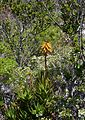 23 Aloe commixta - Silvermine Cape Town.jpg