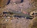 24-inch steelhead from Maria Ygnacio Creek in Santa Barbara County, California. (26808089447).jpg