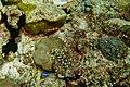 39-EastTimor-Dive Atauro 19 (Juvenile Yellowtail Coris Fish)-APiazza.JPG