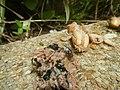 4300Ants of the Philippines Common houseflies 09.jpg