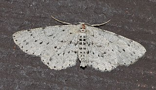 <i>Glena cribrataria</i> species of insect