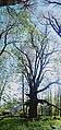 68-206-5011 липа серцелиста, Охрімівці,.jpg