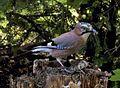 A Jay devours a sparrow.jpg