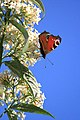 A Peacock butterfly (Inachis io) on a Buddleia bush - geograph.org.uk - 1459943.jpg