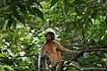 A Pregnant Capped Langur - Flickr - Dr. Santulan Mahanta (4).jpg