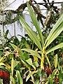 A and B Larsen orchids - Ansellia gigantea nilotica 1006-18z.jpg