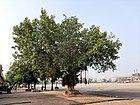 A banyan tree in Moga 01.jpg