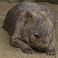 A beautiful Face Australia Zoo-5 (9129045113).jpg