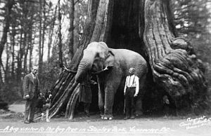 Hollow Tree - An undated photo from Frank Gowen's Vancouver, 1914–1931, showing an elephant lifting a woman with its trunk, standing inside the tree