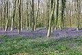 A bluebell wood - geograph.org.uk - 1608483.jpg