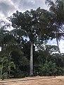 A brazil nut tree near Manus Brazil.jpg
