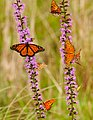 A bunch of butterflies (7658104516).jpg
