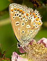 A female common blue butterfly underwing.jpg
