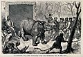 A hairy rhinoceros is transferred from a travelling den to i Wellcome V0023160.jpg