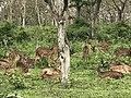 A herd of the spotted deer.jpg