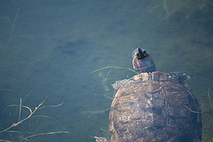 image of A turtle swimming in a pond (8702488885)