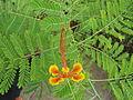 A type of Delonix regia flower easternghats Visakhapatnam.JPG