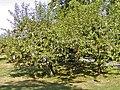 Aarhus pacifier tree 1.jpg