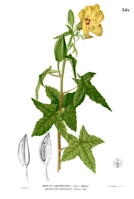 Bisamstrauch (Abelmoschus moschatus), Illustration