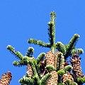 Abies alba cones Goc.jpg