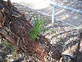Acacia-trachycarpa.jpg