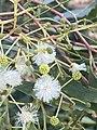 Acacia implexa flowers.jpg