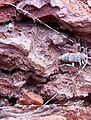 Acanthocinus aedilis male up.jpg