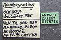 Acanthognathus ocellatus casent0178718 label 1.jpg