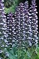 Acanthus mollis IMG 0092.jpg