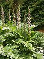 Acanthus mollis RHu 01.JPG