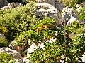 Acer heldreichii ssp. visianii.jpg