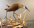 Actophilornis africanus (taxidermied) at Göteborgs Naturhistoriska Museum 7435.jpg