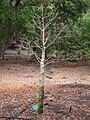 Adansonia grandidieri - Koko Crater Botanical Garden - IMG 2332.JPG
