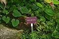 Adiantum capillus-veneris, Conservatoire botanique national de Brest 01.jpg