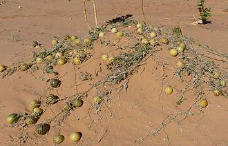 Citrullus colocynthis - Colocynths in Adrar Desert (Mauritania).