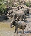 African Elephants (Loxodonta africana) (32226068951).jpg