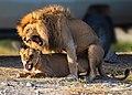 African Lion Mating pair Serengeti NP, Tanzania (48891220877).jpg